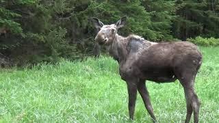 Roadside New Hampshire Moose