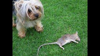 York dog plays with a rat