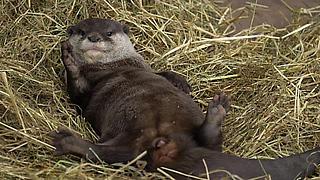 Adorable Otter Loves His Fresh Bedding