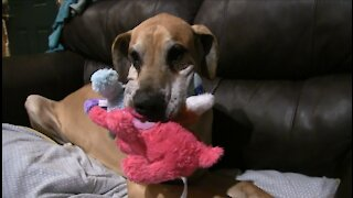 Great Dane fits record number of stuffed animals in his mouth