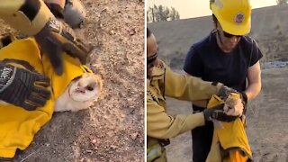 Firefighters rescue barn owl from massive California wildfire