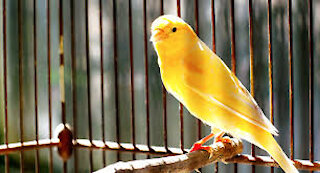 The canary sings