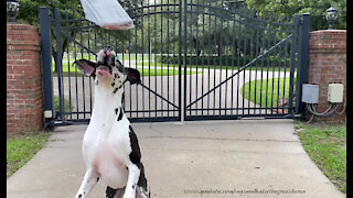 Great Dane hilariously loses focus while fetching the newspaper