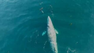 Hval og delfiner leker sammen!