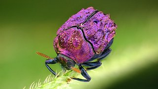 Brilliant shinny beetle filmed in Ecuadorian Amazon rainforest