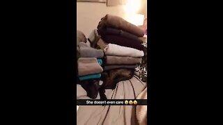 Unimpressed dog lets owner stack towels all over her