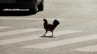 Voici pourquoi le poulet a traversé la route