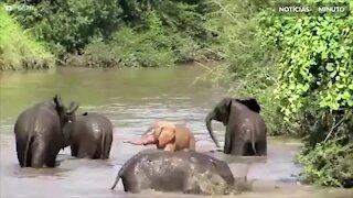 Elefante rosa é registrado na África