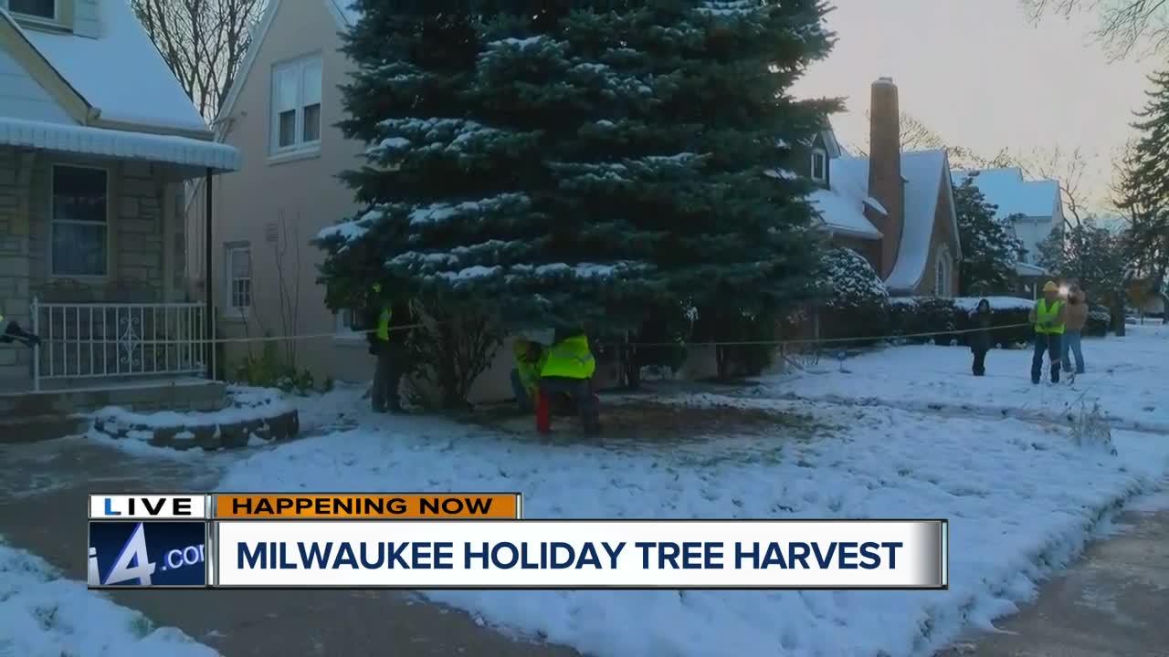 Milwaukee successfully harvests annual Christmas tree