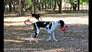 Joyful Great Danes Love To Run And Play With Jolly Balls