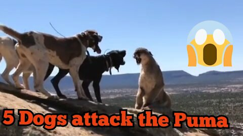 5 Dogs attack the Puma 😱😱😈😈😡 He dont have Scered