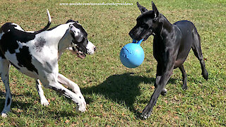 Great Dane Watch Dogs Love Pouncing and Bouncing With Their Jolly Ball