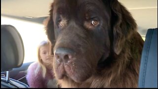 Little girl takes her gigantic dog for a car ride