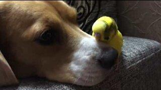Hund og undulat med et uvanlig vennskap!