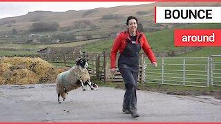 Pet sheep joyfully bouncing around a farmyard after its owner