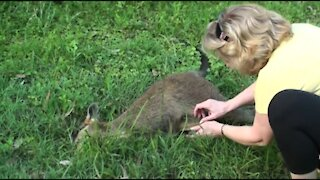 Baby Kangaroo rescue after mother Kangaroo death