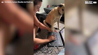 Cette chienne interrompt sa maîtresse pour attirer son attention