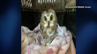 Tiny owl rescued from 30 Rock Christmas tree at New York City's Rockefeller Center