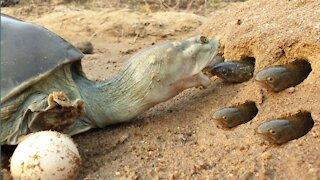 Monster tortoise hunting fish