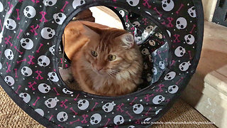 Bewildered cat watch crazy puppy play from inside tent