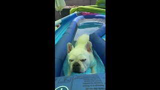 Most relaxed dog ever chills out in the pool
