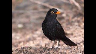 The black bird has a beautiful voice