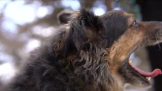 Colorado State University studying vaccine to help prevent cancer in dogs