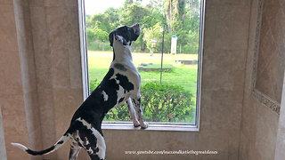 Great Dane Puppy Enjoys Squirrel Watching