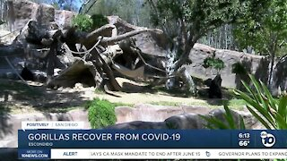San Diego Zoo Safari Park gorillas recover from COVID-19