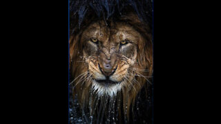 about lion