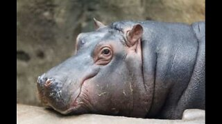 Hippo world is a happy world