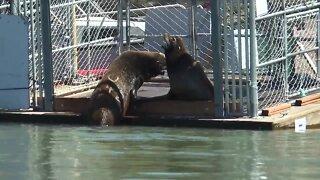 Feds target sea lions