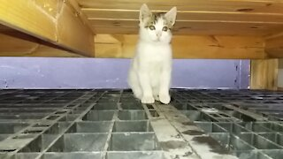 48day old cat - part4(Clumsy exotic beauty..)