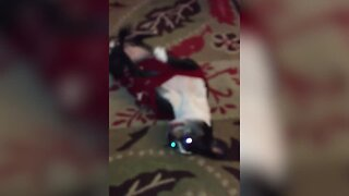 Chihuahua Loves to Dance