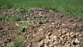 New Potato Field Rules Released