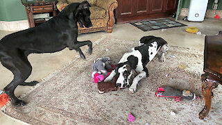 Impatient Great Dane stomps feet in protest