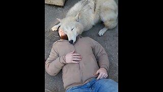 Wolf Preciously Cuddles With His Caretaker