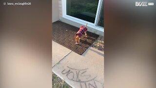 Chihuahua experimenta novas botas!