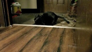 Hyper cat goes totally crazy chasing paper balls