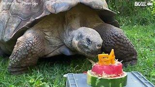 Tortoise celebrates 54 years with birthday treat!