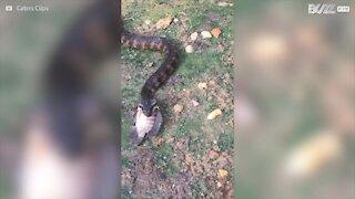 Impressionante! Serpente mangia pesce intero in un sol boccone