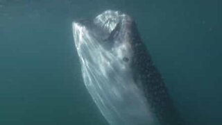 Whale shark shows off its enormous mouth