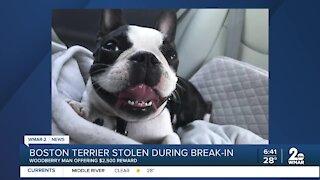 Boston Terrier stolen during break-in