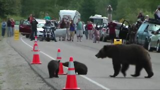 Momma Bear and Cubs in Public Taking Pictures live