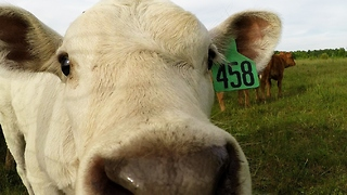 Curious calves can't resist investigating camera