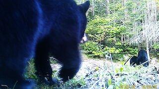 Bear cub swipes at trail camera before following mom & brother