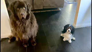 Newfie and Cavalier make feeding time adorable