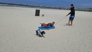 Doggy wreaks havoc dressed as land shark