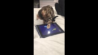 Kitten goes crazy for fishing game on tablet