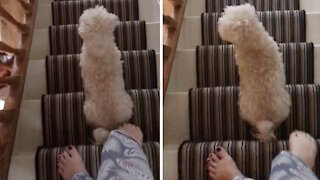 Puppy only goes down the stairs one step at a time